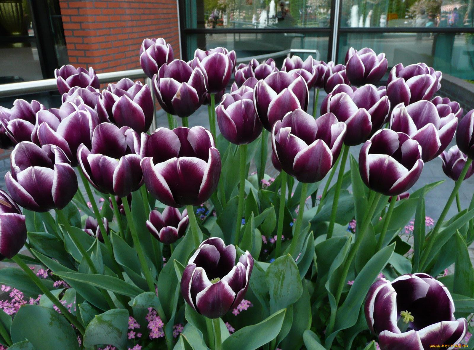 цветы тюльпаны фото названия состоит одного